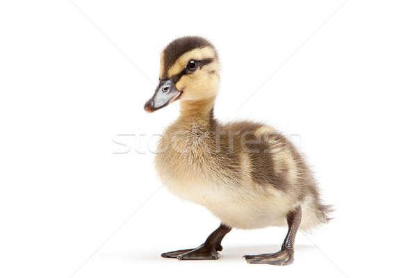 ストックフォト: 赤ちゃん · カモ · 孤立した · 白 · アヒルの子 · 鳥