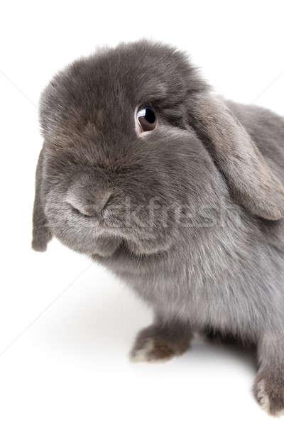 Tavşan beyaz bakıyor kamera kadın Stok fotoğraf © alptraum