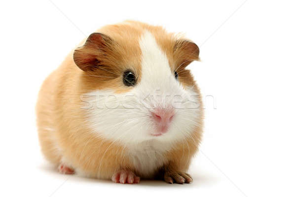 Kobay beyaz sevimli atış domuz hayvan Stok fotoğraf © alptraum