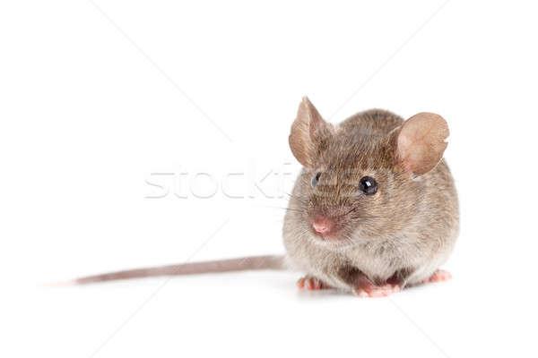Gris ratón aislado blanco naturaleza Foto stock © alptraum
