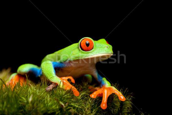 frog closeup on black Stock photo © alptraum