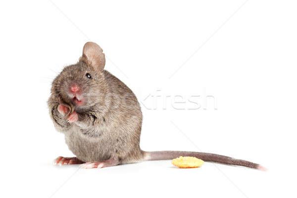 Foto stock: Bobo · mouse · branco · isolado · bonitinho · cinza