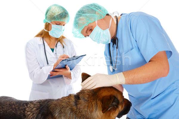 Zwei Hund Tierarzt Assistent isoliert Stock foto © Amaviael