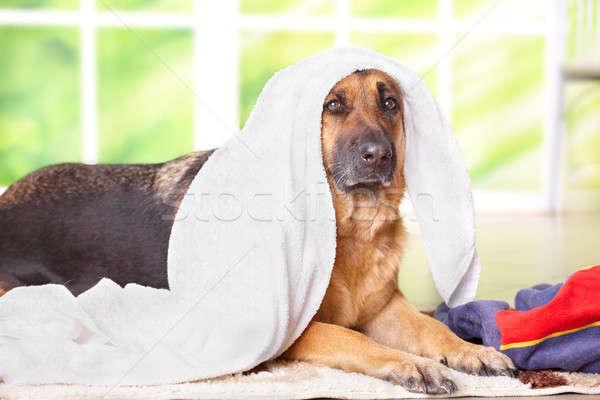 Köpek havlu çoban oturma içinde ev Stok fotoğraf © Amaviael