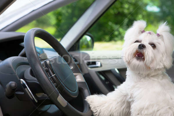 Dog in car Stock photo © Amaviael