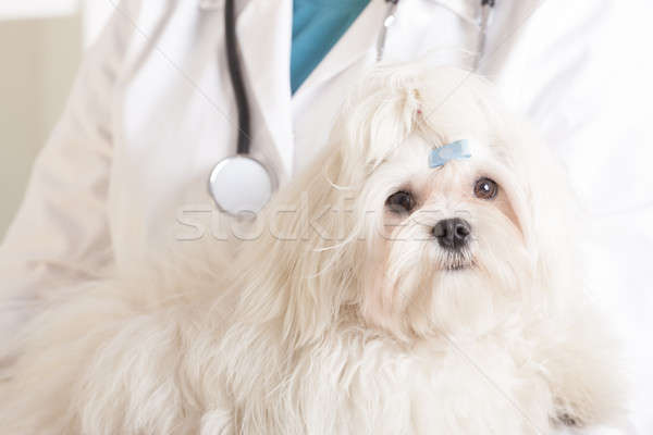 Cute maltese dog and vet Stock photo © Amaviael
