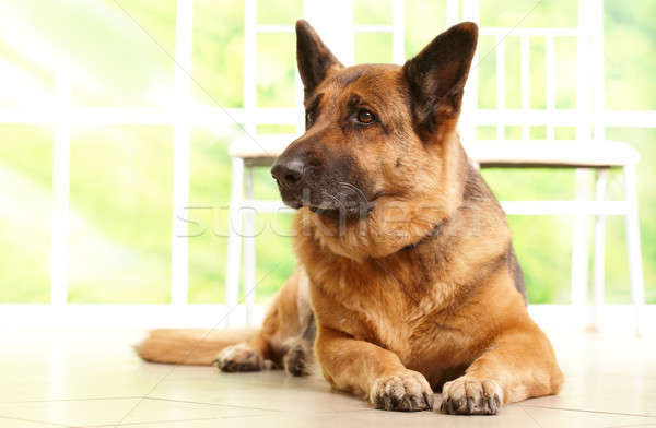 Psa patrząc piętrze domu właściciel Zdjęcia stock © Amaviael