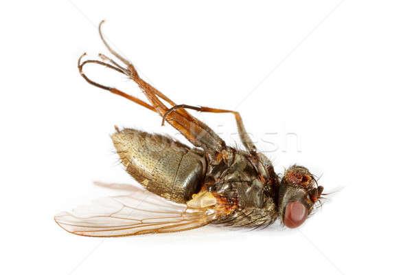 Morto voar inseto isolado branco natureza Foto stock © Amaviael