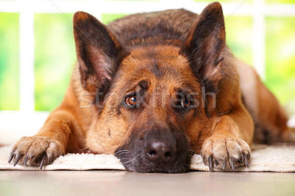German shephard dog laying  Stock photo © Amaviael
