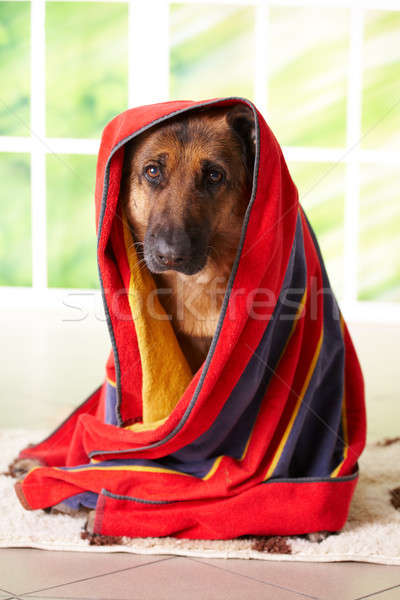 Dog in towel Stock photo © Amaviael