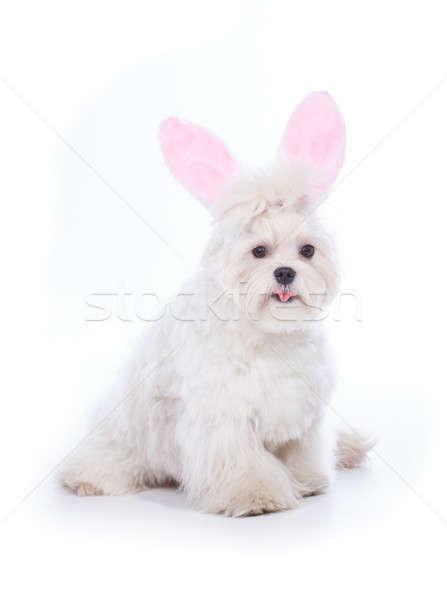 Bunny Maltese Stock photo © Amaviael