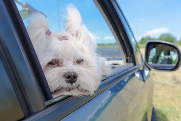 Dog sitting in a car Stock photo © Amaviael