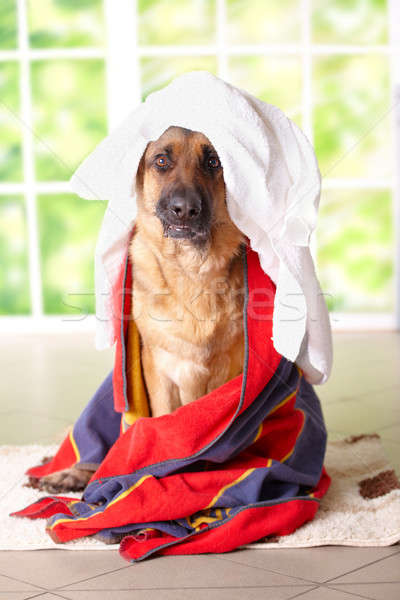 Dog in towel Stock photo © Amaviael