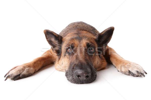 German shephard dog laying  Stock photo © Amaviael