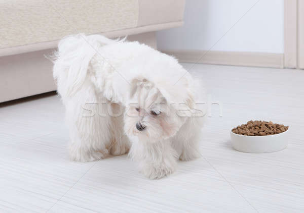 Dog refusing to eat dry food Stock photo © Amaviael