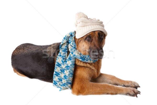 Perro sombrero bufanda invierno aislado Foto stock © Amaviael