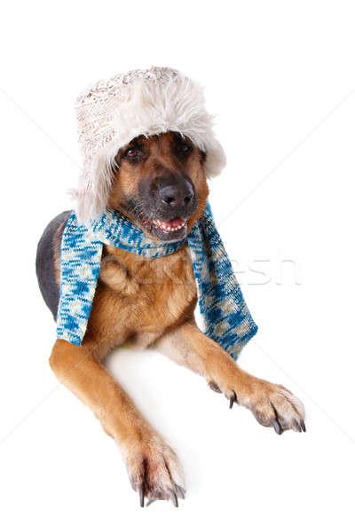 Foto stock: Perro · sombrero · bufanda · invierno · aislado