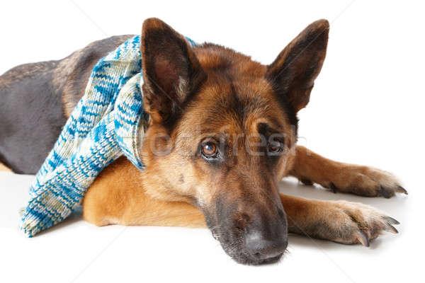 Pastor perro bufanda invierno aislado Foto stock © Amaviael