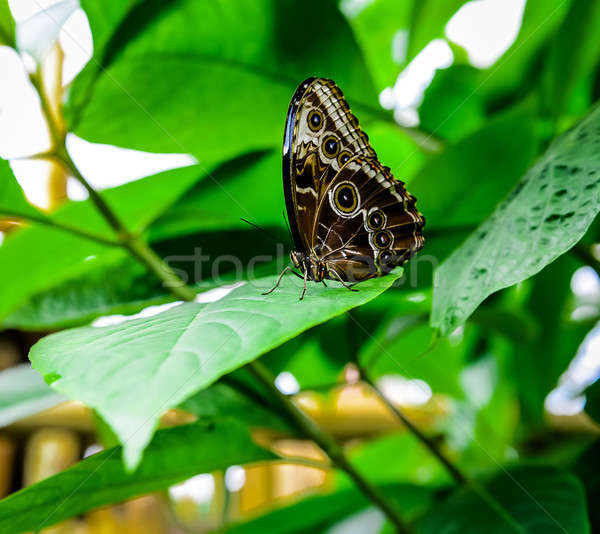 Morpho peleides butterfly Stock photo © amok