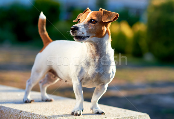 Jack russell terrier extérieur chiot belle permanent animal Photo stock © amok
