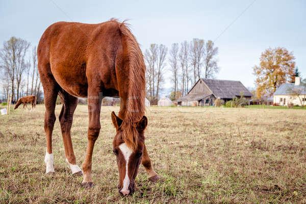 Horse feeding outdoors Stock photo © amok