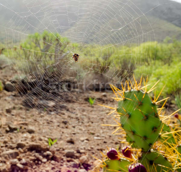 Close-up spoder web and Opuntia ficus-indica  Stock photo © amok