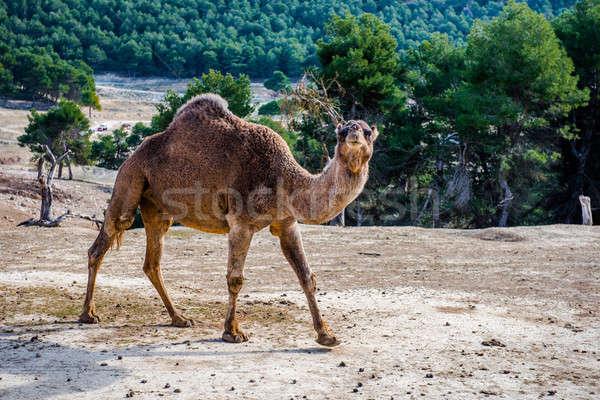 Camelo ao ar livre natureza árvores montanha belo Foto stock © amok