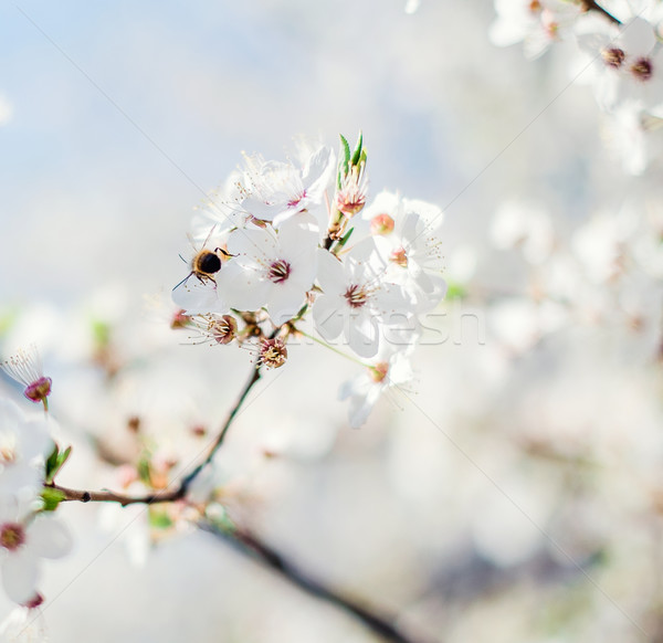 Spring Cherry blossom Stock photo © amok