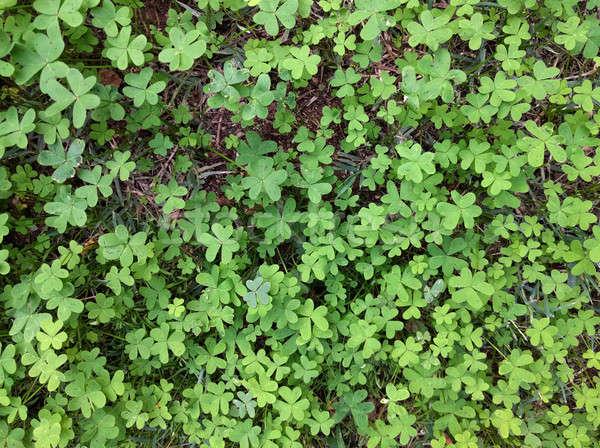 Yeşil yonca yaprak arka plan alan taze Stok fotoğraf © amok
