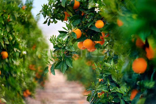 Orange grove in Southern Spain. Daylight, no people Stock photo © amok
