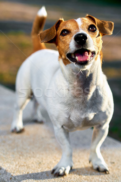 Jack russell terrier aire libre cachorro hermosa pie mascota Foto stock © amok