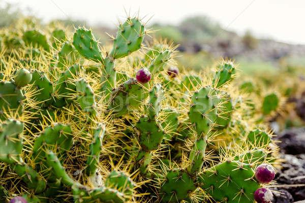 Espèce cactus tenerife Espagne Photo stock © amok