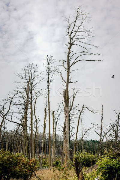 Forest of a dead pine trees against cloudy sky background Stock photo © amok