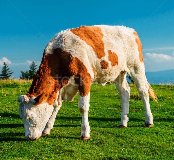 Cow grazing on meadow. Photo taken in Graz, Austria Stock photo © amok