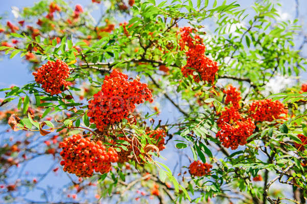 Blooming ashberry tree Stock photo © amok