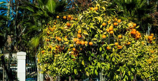 Orange trees. Malaga, Spain Stock photo © amok