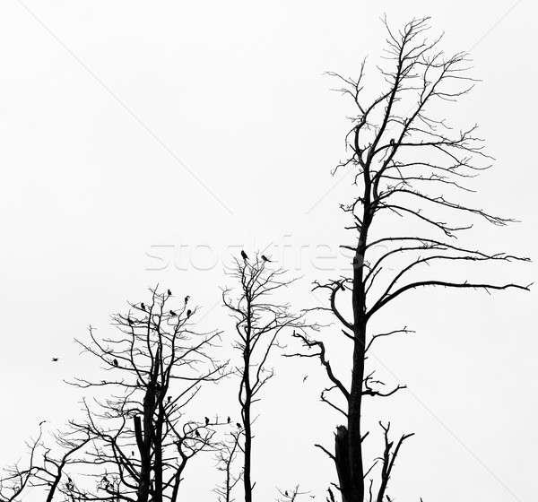 Dead pine trees against sky background. Juodkrante, Lithuania Stock photo © amok