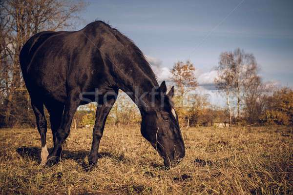 Beautiful black horse feeding outdoors Stock photo © amok