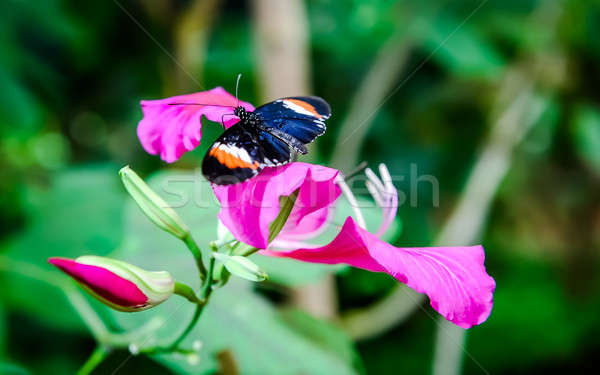 Heliconius erato (red postman) butterfly on a flower Stock photo © amok
