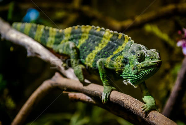 Camaleão ramo gigante verde cabeça tropical Foto stock © amok