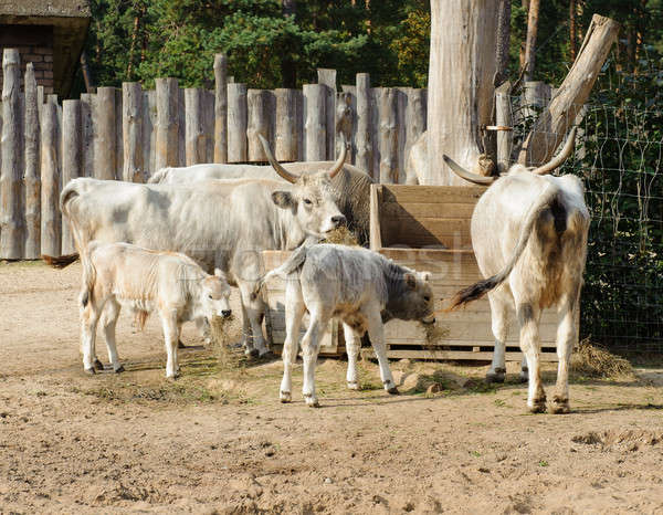 Hungarian grey cattle outdoors Stock photo © amok
