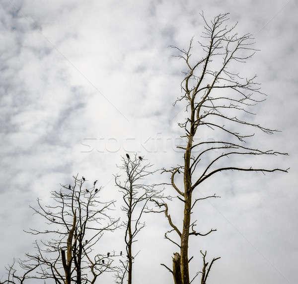 死んだ 松 木 リトアニア 曇った 空 ストックフォト © amok