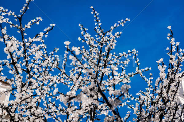 Led cherry tree twigs over blue sky  Stock photo © amok