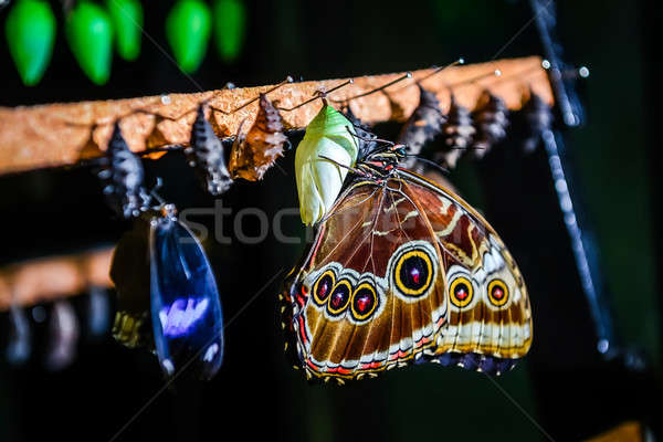 Close-up of Morpho peleides butterfly and chrysalis Stock photo © amok