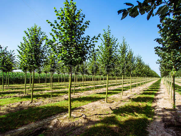 Rows of caucasian lime trees Stock photo © amok
