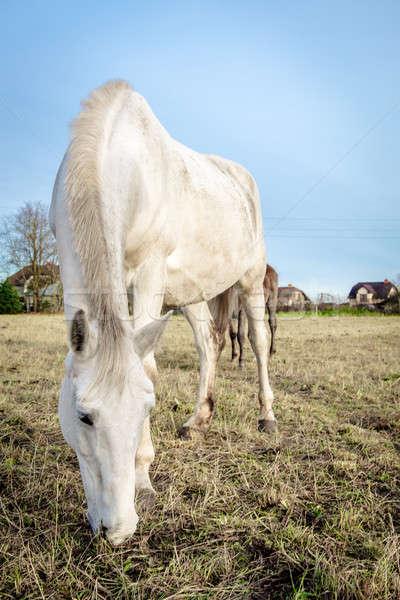Gyönyörű fehér ló etetés kint szem ló Stock fotó © amok