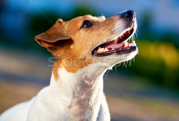 Jack russell terrier odkryty dziewczyna zwierząt szczeniak piękna Zdjęcia stock © amok