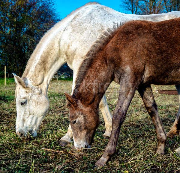 Beautiful brown and white horses feeding outdoors Stock photo © amok