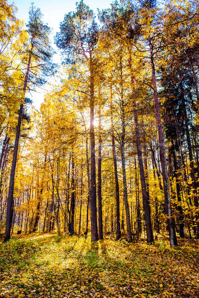 Picturesque autumn forest illuminated by the morning sun. Sigulda Stock photo © amok