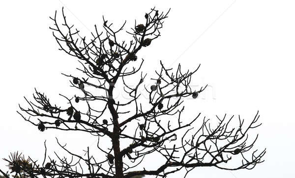 Bare pine tree branches with cones Stock photo © amok